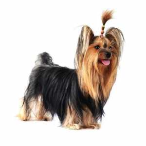 10 Haircuts vir `n Yorkshire Terrier